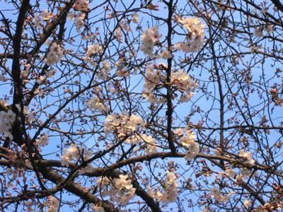 真上の桜.jpg